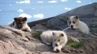 10-slaedehundehvalpe.jpg